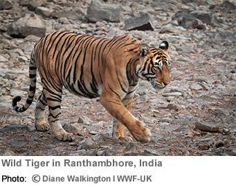 RAOnline Bhutan: Animals - Tigers - Global wild tiger