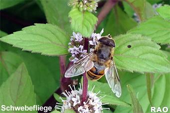 raonline edu zoologie insekten bienenbest ubung auch f r ackerkulturen wichtig. Black Bedroom Furniture Sets. Home Design Ideas