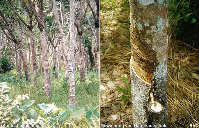 Raonline Edu Kulturpflanzen Kautschuk Hevea Brasiliensis