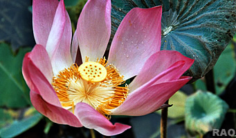 Raonline nepal the importance of the lotus flower in buddhism mightylinksfo